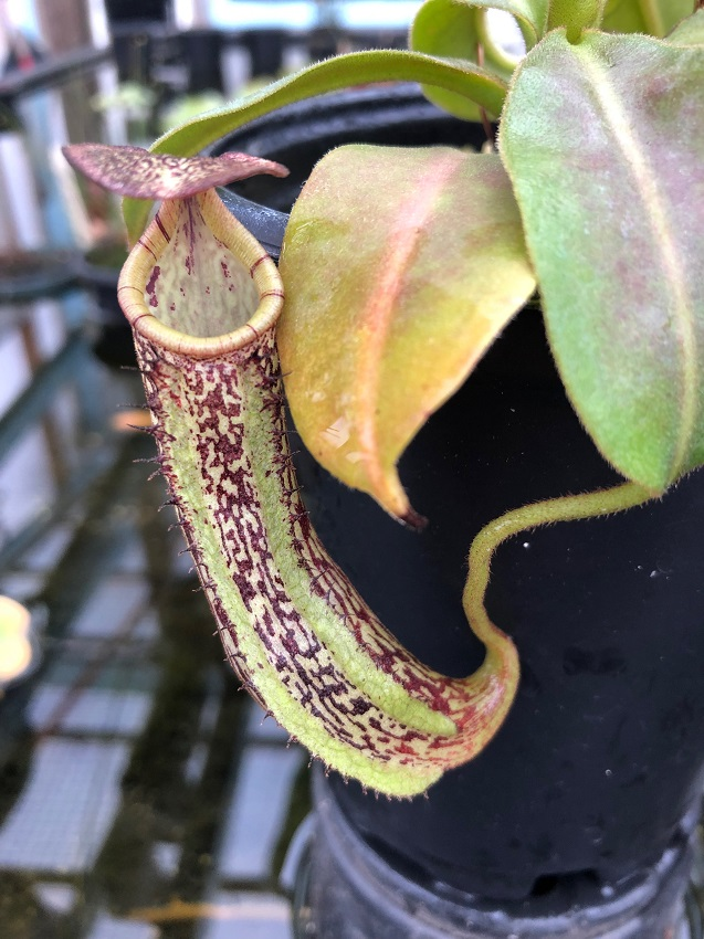 Nepenthes maxima x vogelii BE3728