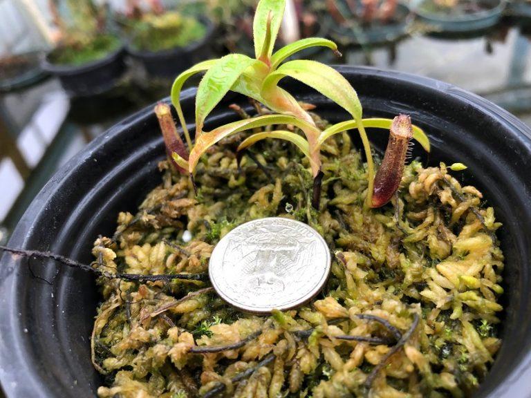 Nepenthes lingulata BE3463