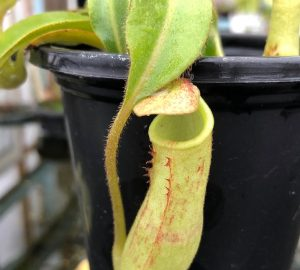 Nepenthes maxima BE3735