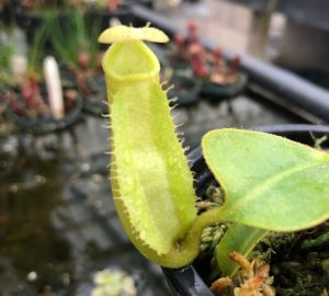 Nepenthes robcantleyi x veitchii BE3731