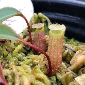 Nepenthes attenboroughii BE369