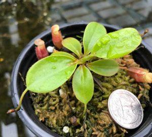 Nepenthes rajah x (burbidgeae x edwardsiana) BE3902