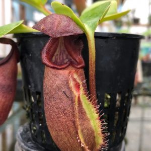 Nepenthes robcantleyi BE3517