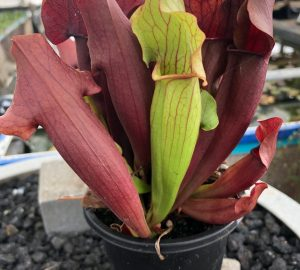 Sarracenia unknown