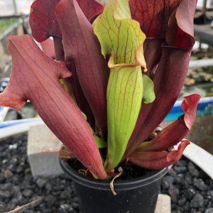Sarracenia unknown