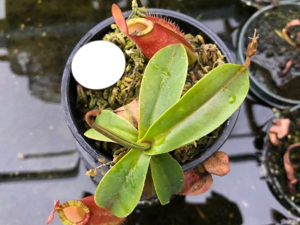 Nepenthes ampullaria x (spectabilis x talangensis) BE3738