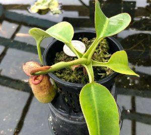 Nepenthes burbidgeae x robcantleyi BE3577
