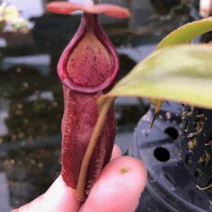 Nepenthes densiflora x rafflesiana BE3719