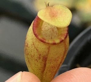 Nepenthes flava BE3652