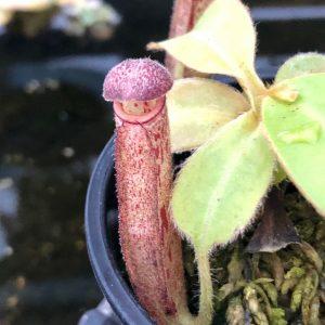 Nepenthes glandulifera BE3691