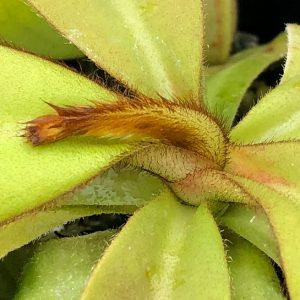 Nepenthes veitchii Bareo Golden BE3482