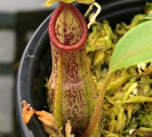 Nepenthes spathulata x hamata BE3712