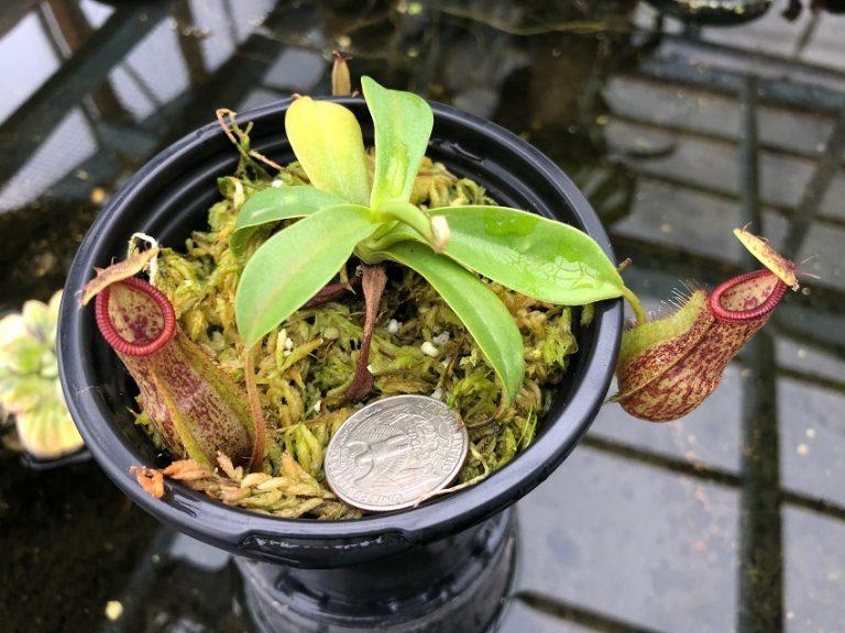 Nepenthes spathulata x hamata BE3712