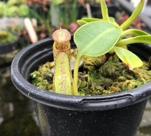 Nepenthes robcantleyi x fusca BE3893