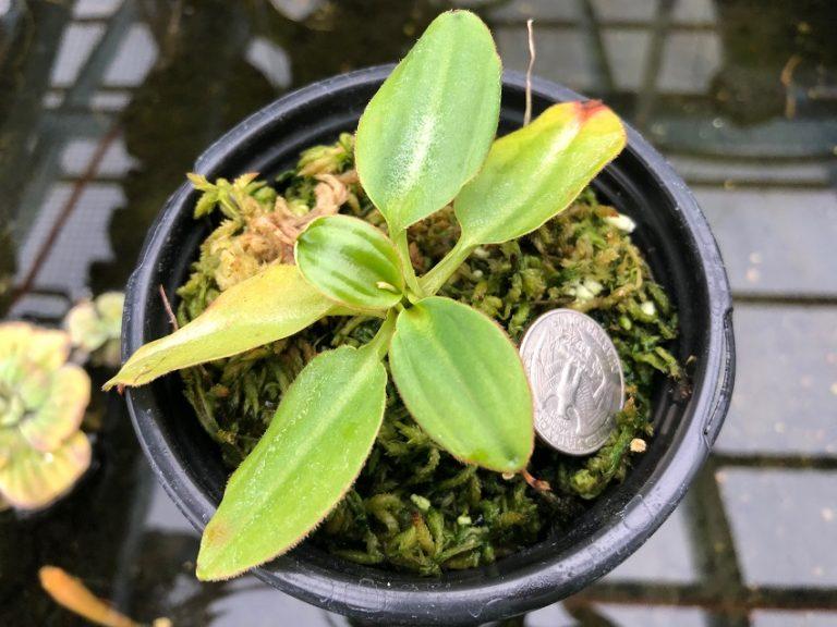 Nepenthes rajah BE3152