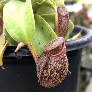 Nepenthes maxima x talangensis BE3679