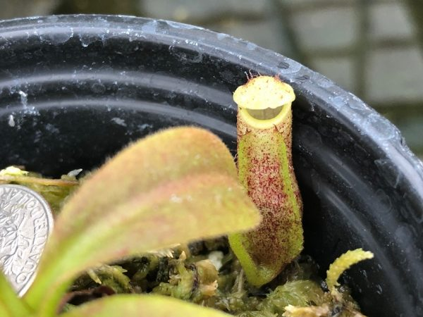 Nepenthes maxima BE3067