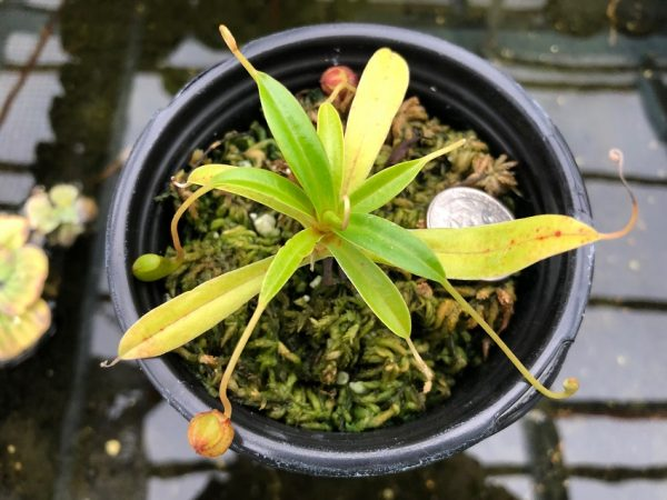 Nepenthes jacquelineae BE3874