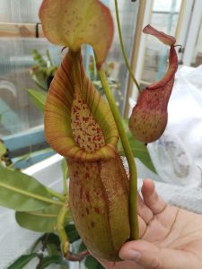 Nepenthes petiolata x (bellii x robcantleyi) BE 3944