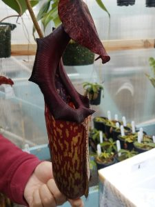 Nepenthes maxima x boschiana BE 3417