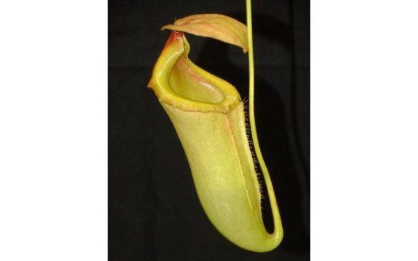 Nepenthes merrilliana x campanulata BE3473
