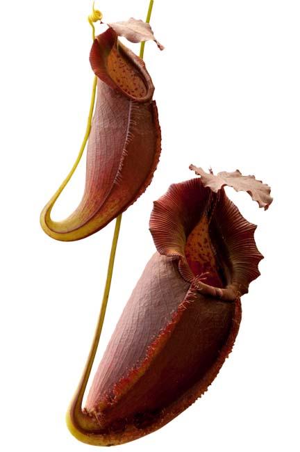 Nepenthes spathulata x gymnamphora BE3422