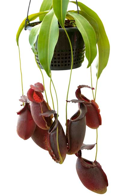 Nepenthes spathulata x gymnamphora BE3422