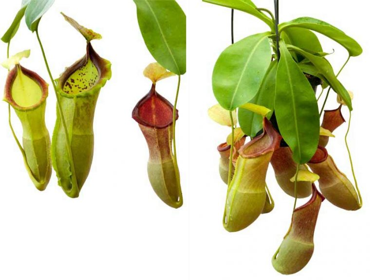 Nepenthes spathulata x campanulata BE3795