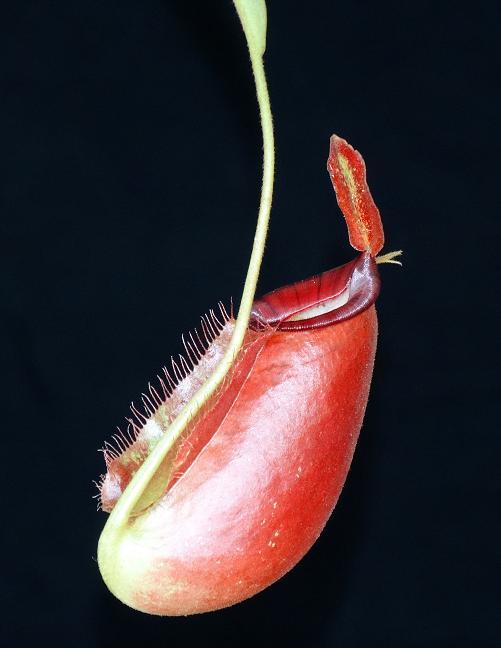 Nepenthes ampullaria x spectabilis BE3724