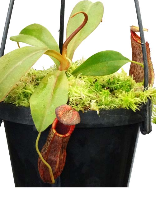 Nepenthes spathulata x (lowii x tentaculata) BE3732
