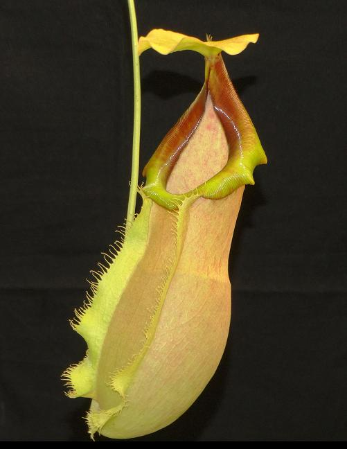 Nepenthes spathulata x merrilliana BE3949