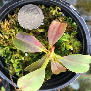 Nepenthes hamata x robcantleyi BE3755