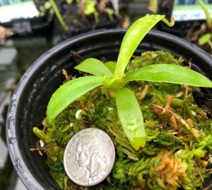Nepenthes spathulata x jacquelineae BE3883