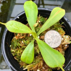 Nepenthes fusca BE3465