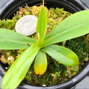 Nepenthes merrilliana x aristolochioides BE3877