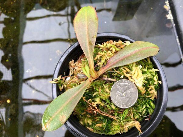 Nepenthes boschiana x tenuis BE3763