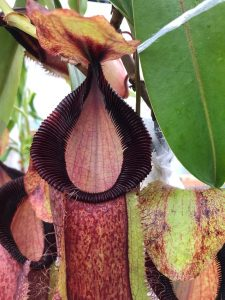 Nepenthes spathulata x hamata BE 3388