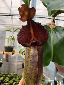Nepenthes robcantleyi BE 3561