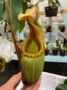Nepenthes veitchii x mira BE 3486