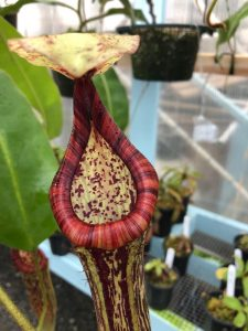 Nepenthes glandulifera x platychila BE 3661