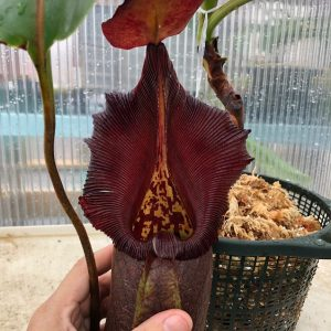 Nepenthes robcantleyi BE3517 XL #1