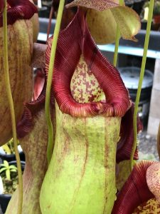 Nepenthes ventricosa x robcantleyi BE 9999