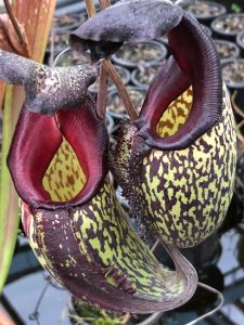 Nepenthes maxima x talangensis BE 3927