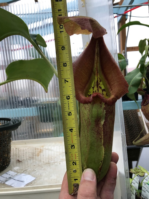 Nepenthes robcantleyi BE3517 XL #4