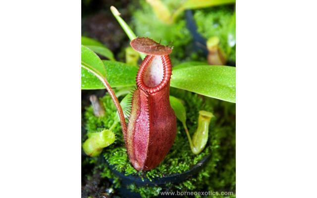 Nepenthes singalana x hamata BE3955