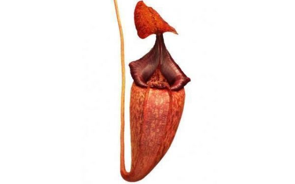 Nepenthes petiolata x talangensis BE3762