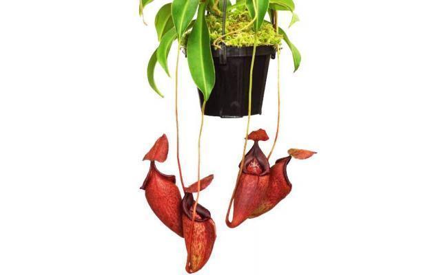 Nepenthes petiolata x talangensis BE3762