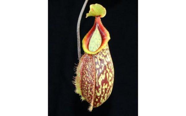 Nepenthes Lady Pauline x hamata BE3777