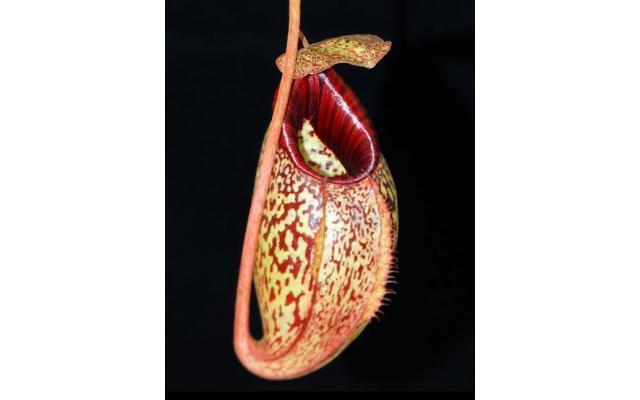 Nepenthes burbidgeae x aristolochioides BE3784
