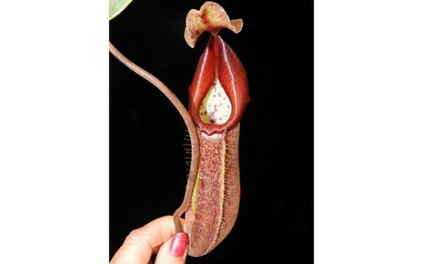 Nepenthes fusca x robcantleyi BE3967